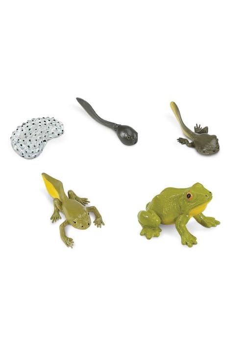 El ciclo de vida de una rana